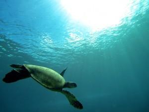 turtle-oahu