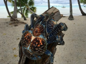 coconut-crab-sailing-tuamotu-french-polynesia