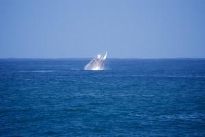 whale-jump-oahu